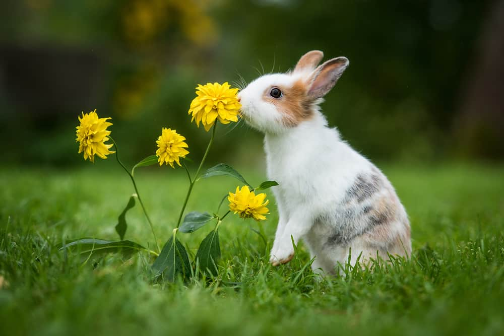 calico bunny smelling yellow flowers
