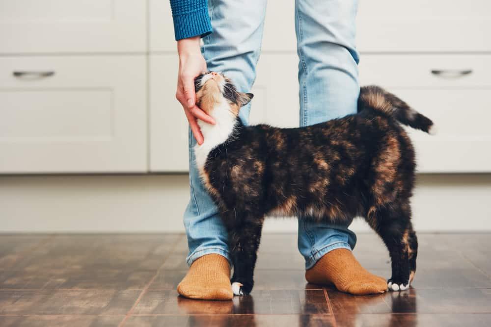 cat greeting owner