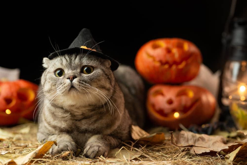 cat in a witch hat