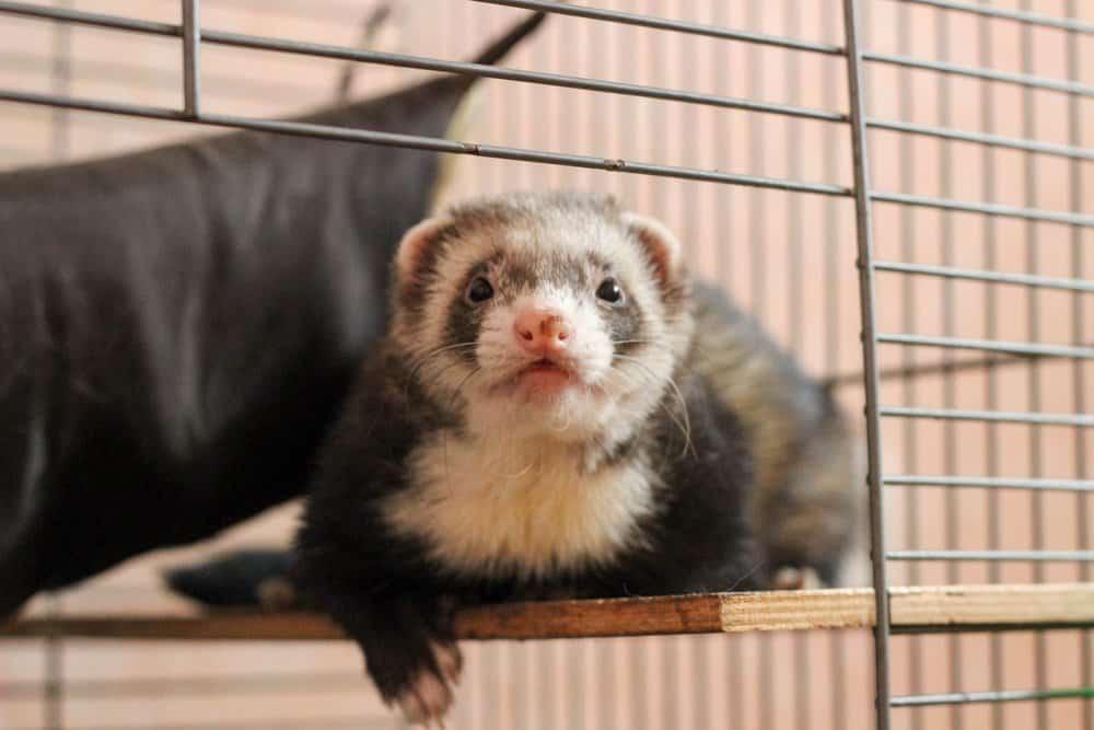 ferret cage open door