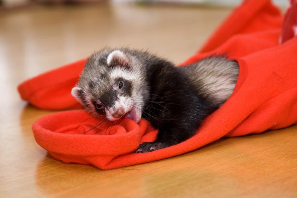 ferret nibbling red toy