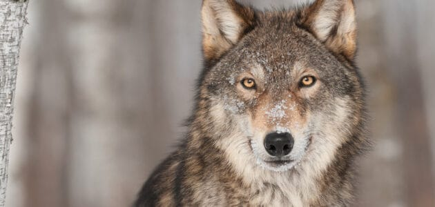 Wolf Names for Their Domesticated Descendants