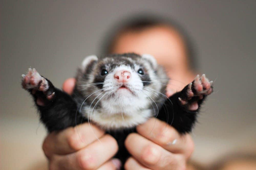 man holding up ferret