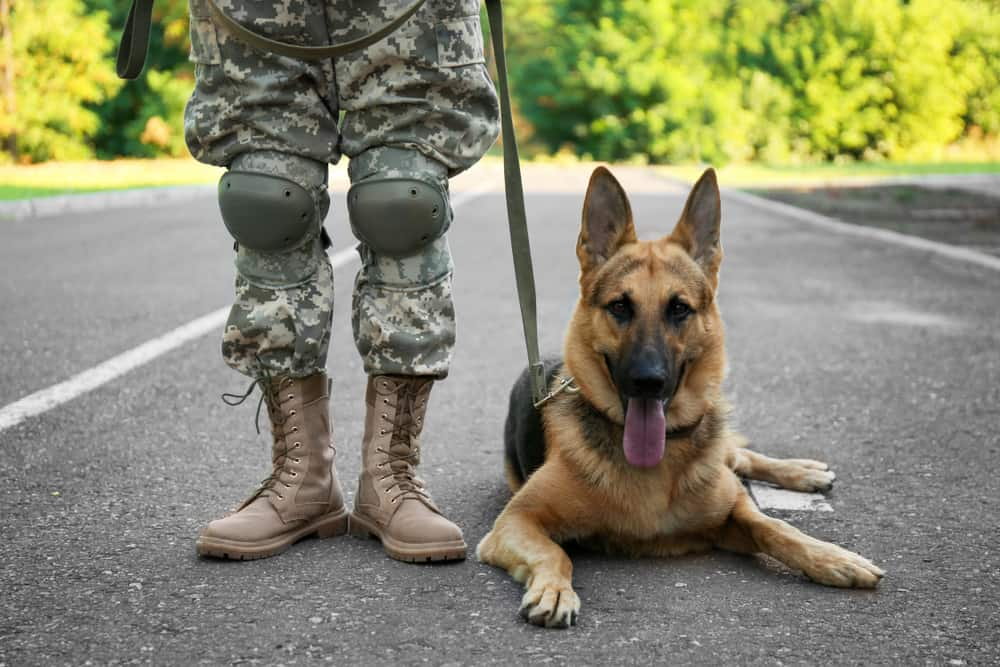 military dog german shepherd with soldier
