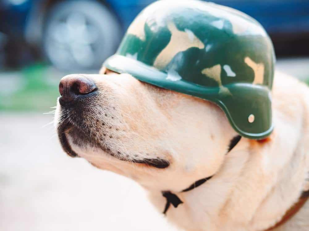 military dog with soldier helmet