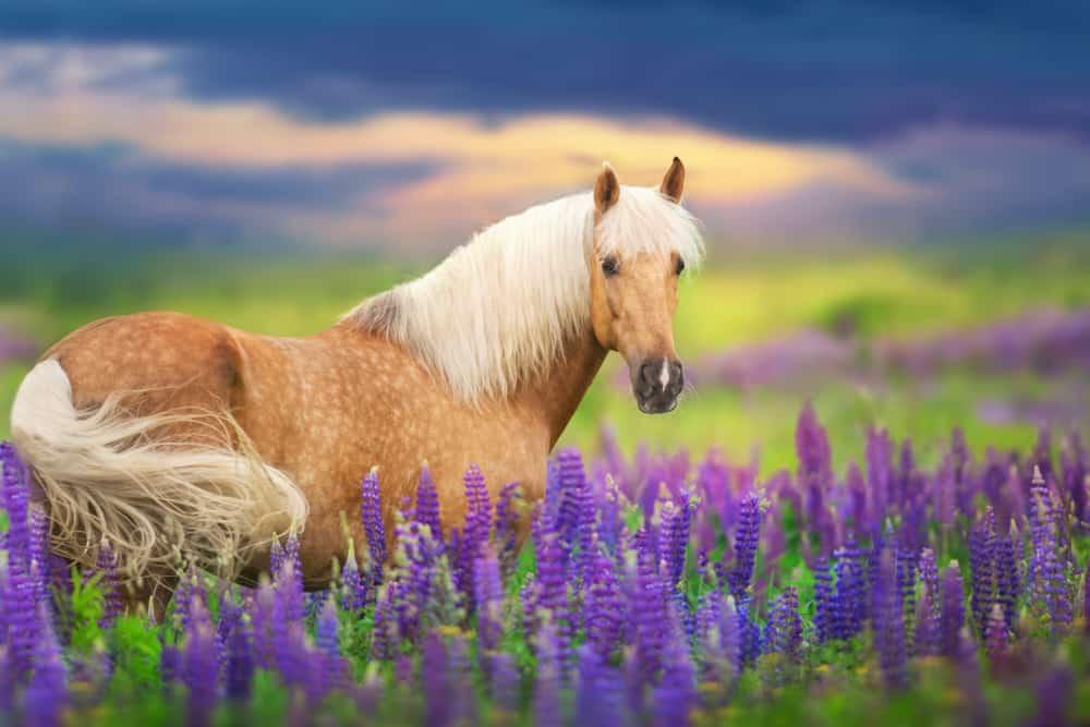 palomino horse in field of flowers