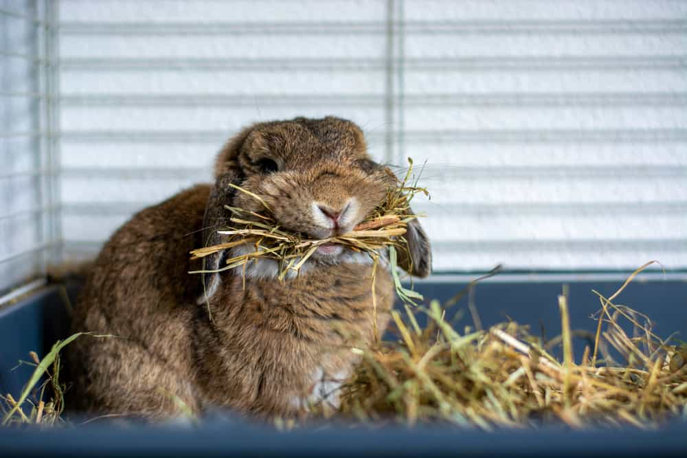 rabbit chews hay in its cage