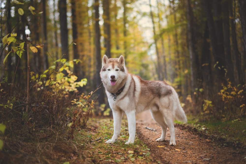 siberian husky on forest path