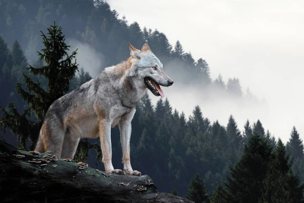 timber wolf on forested mountain