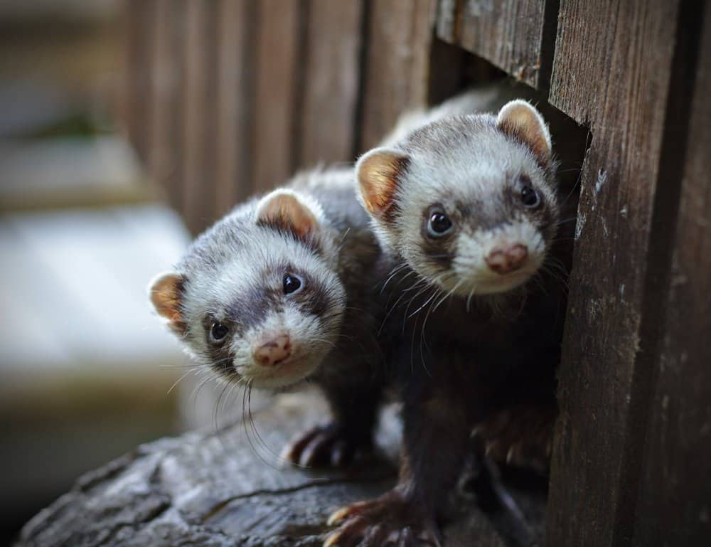 two ferrets looking out door