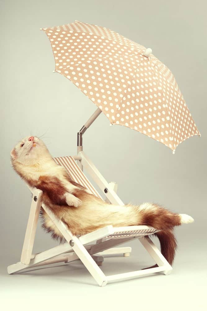 white ferret chilling lounge chair