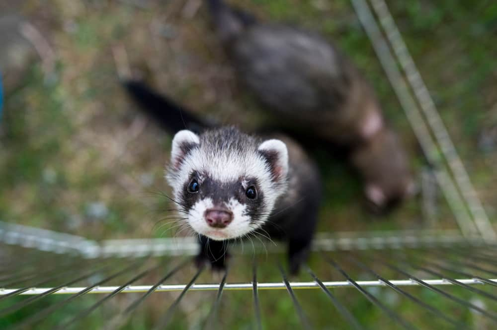 a ferret stands against a playpen looking up