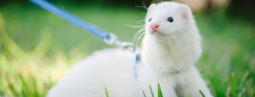 277 Cute Ferret Names for Your Frisky Furball