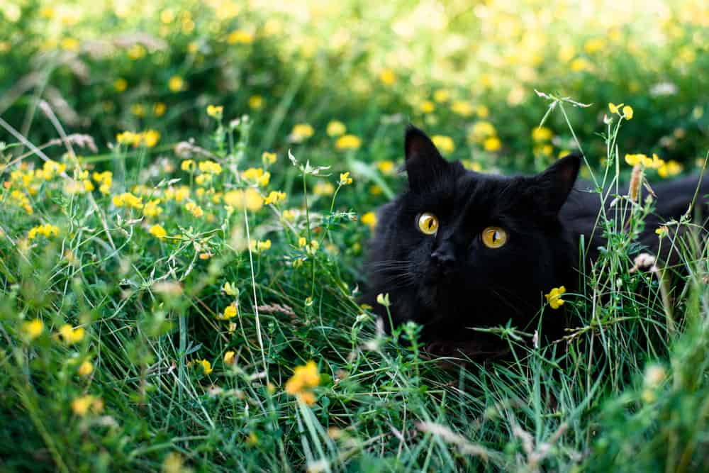black cat surrounded by yellow flowers