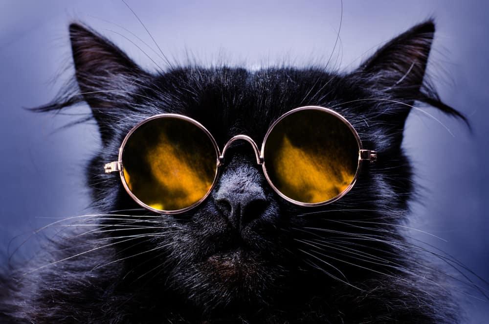 black cat wearing shades