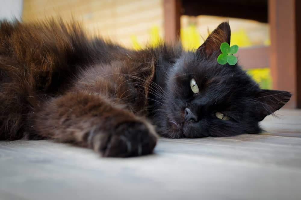 black cat with four leaf clover on head