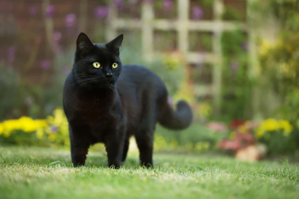 black cat with green eyes in yard