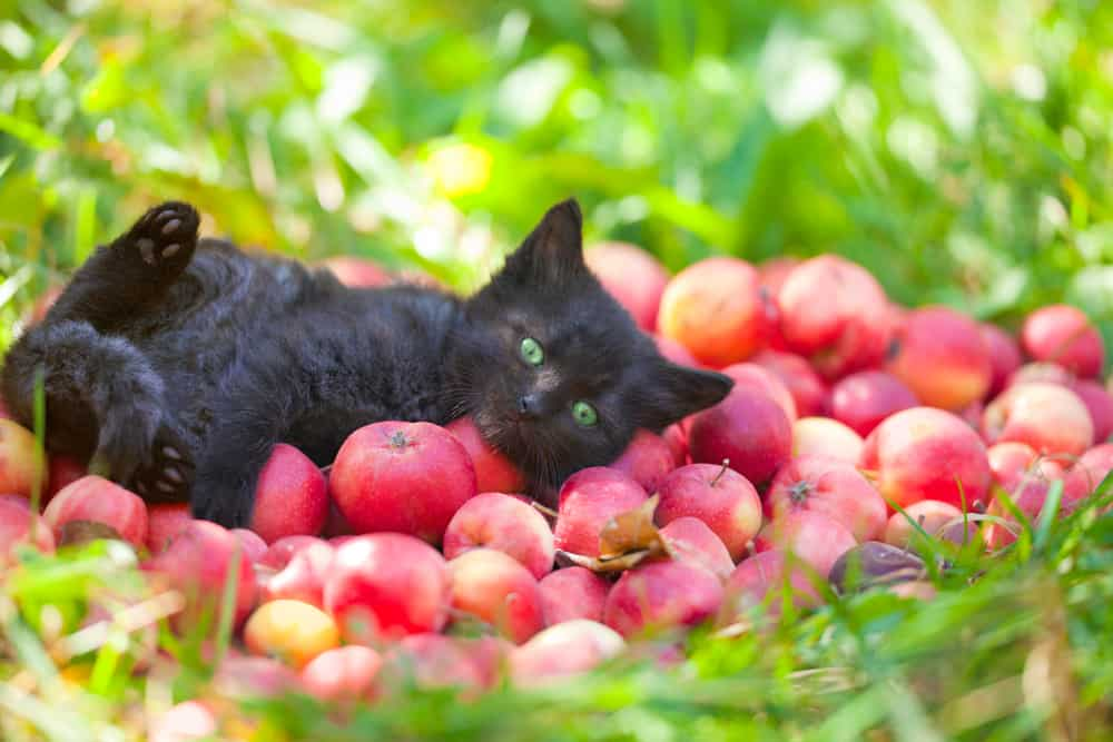 black kitten lying on apples