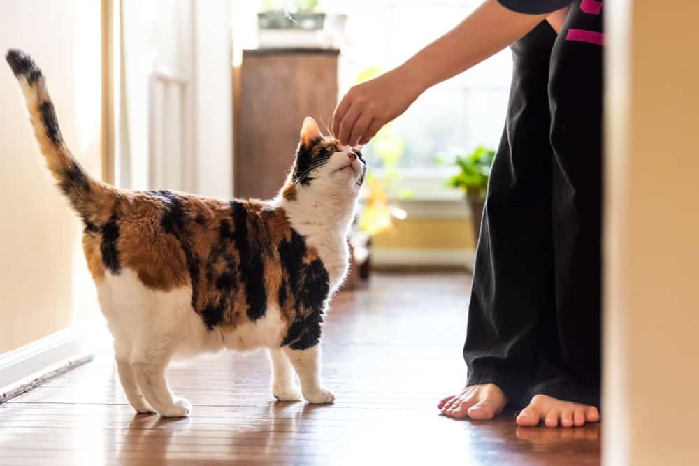 calico cat being fed treat
