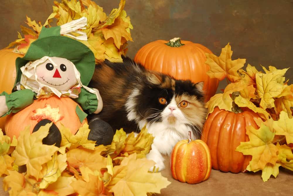 calico cat sat beside scarecrow doll amongst pumpkins
