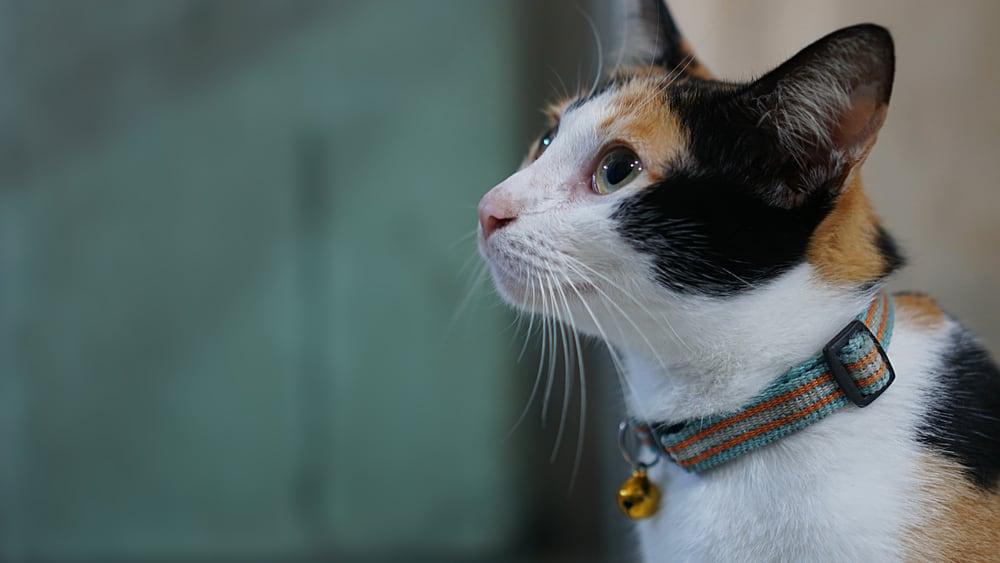 calico cat wearing collar
