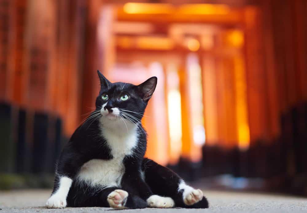 cat sat in front of torii gates