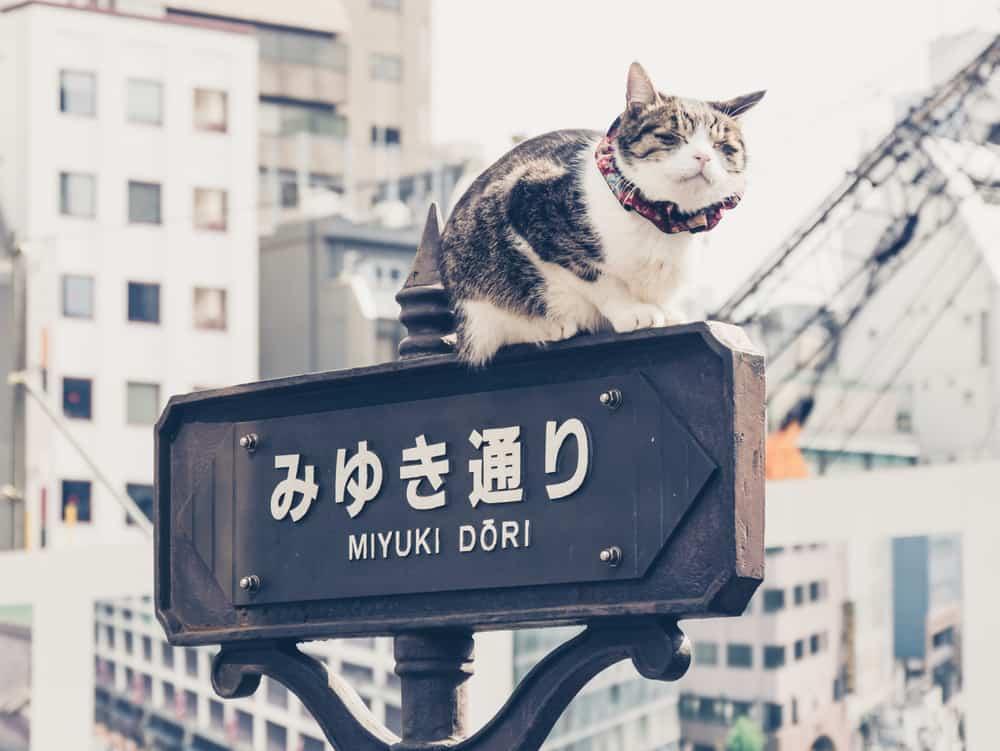 cat sat on Japanese sign