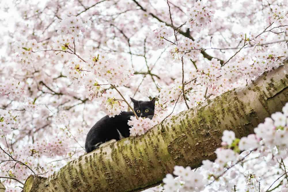 cat sat on cherry blossom tree branch