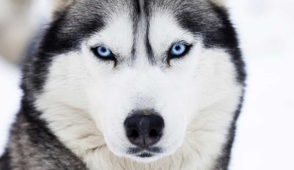 close up of husky with blue eyes