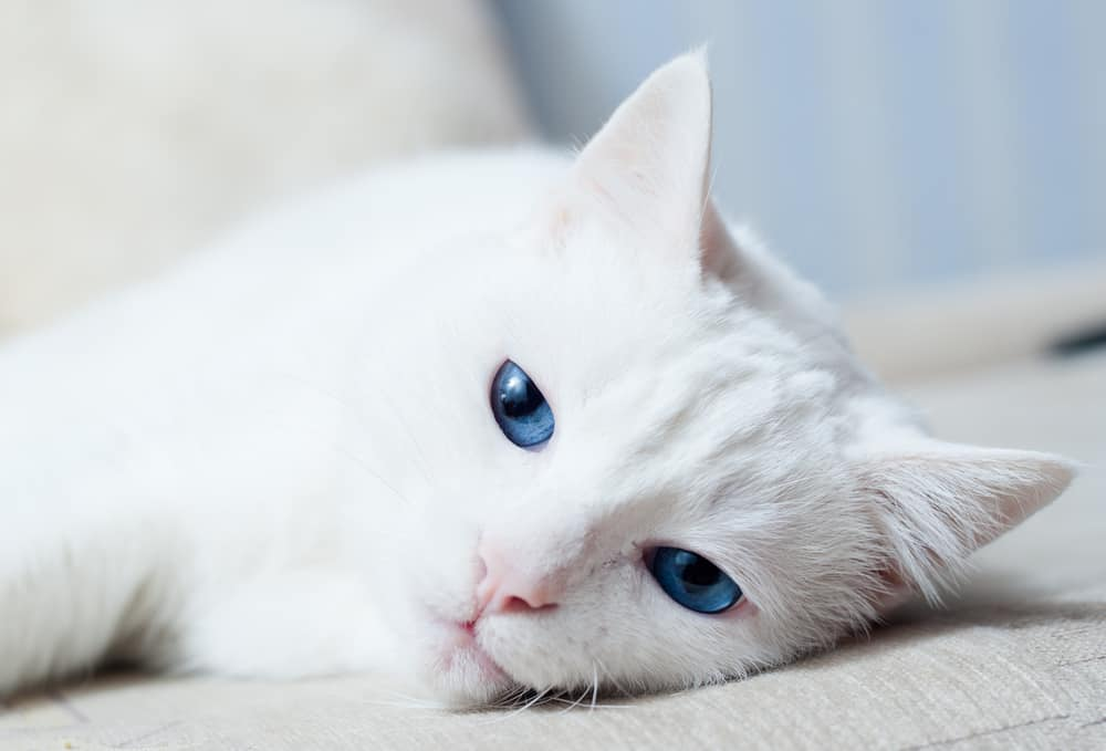 close up of white cat with blue eyes