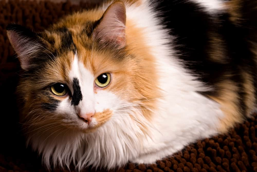 closeup of calico cat with green eyes