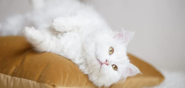 150+ Beautiful White Cat Names for Snowy Felines