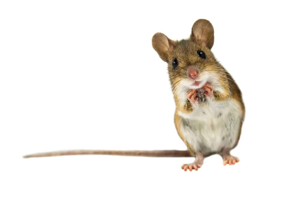 mouse stands on hind legs