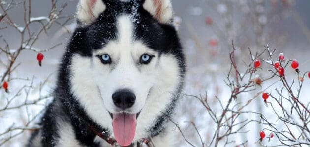 200+ Husky Dog Name Ideas Perfect for Your Big Softie