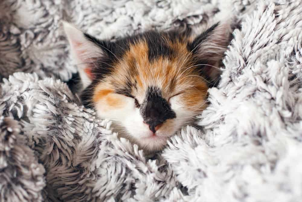 sleeping calico kitten in blanket