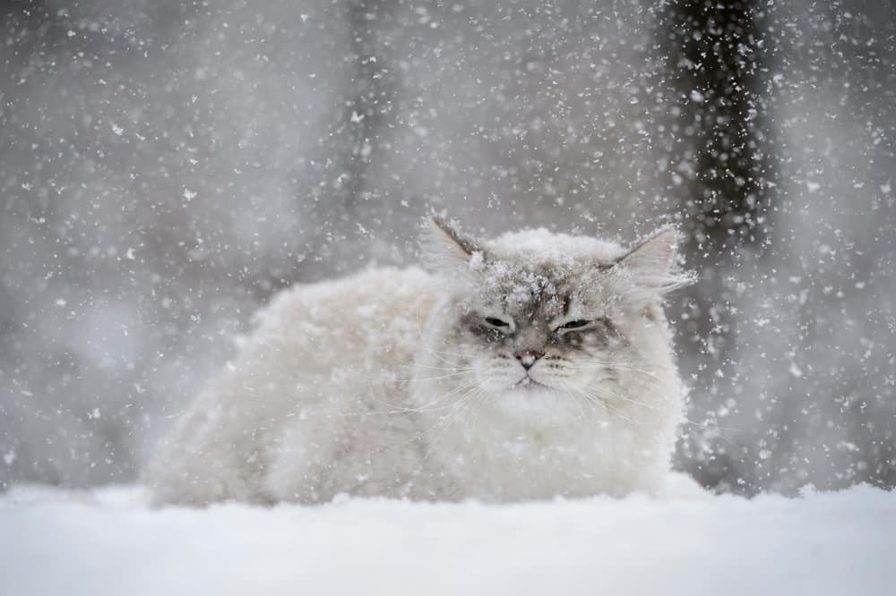white cat lying down in snow