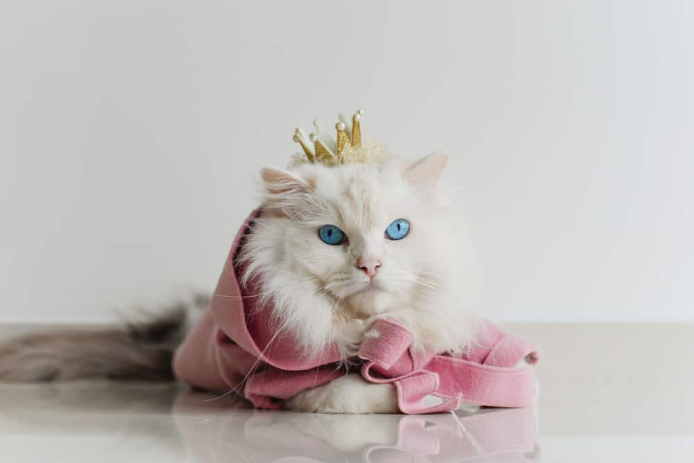 white cat wearing crown and pink coat