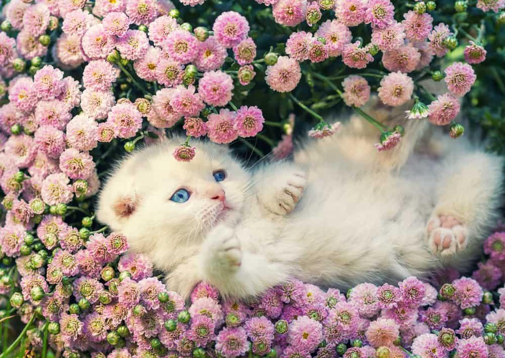 white kitten amongst pink flowers