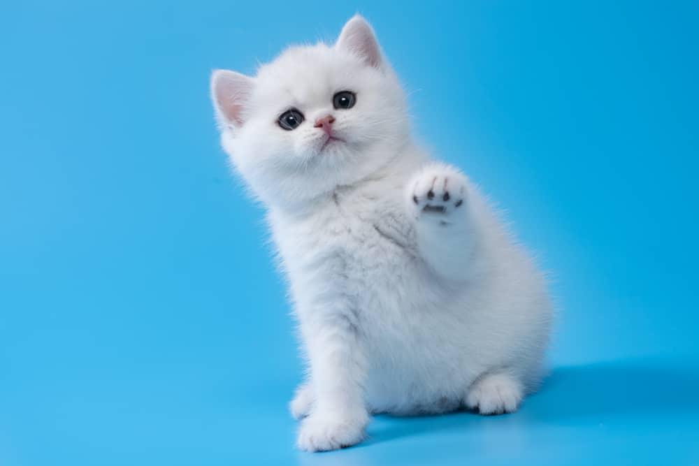 white kitten raising paw