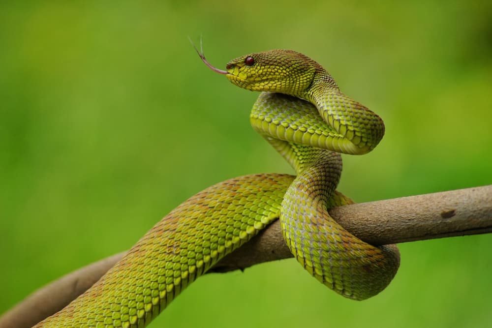 hissing snake coiled around branch