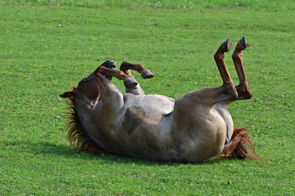 horse rolling on grass