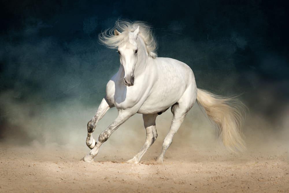 White horse galloping forward