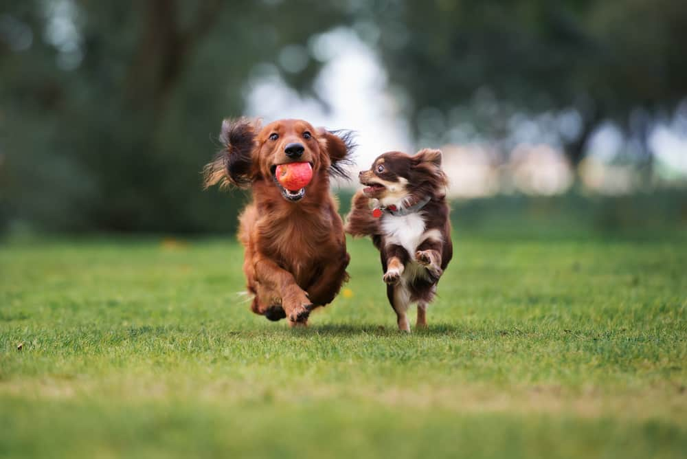 two small dogs playing together outside