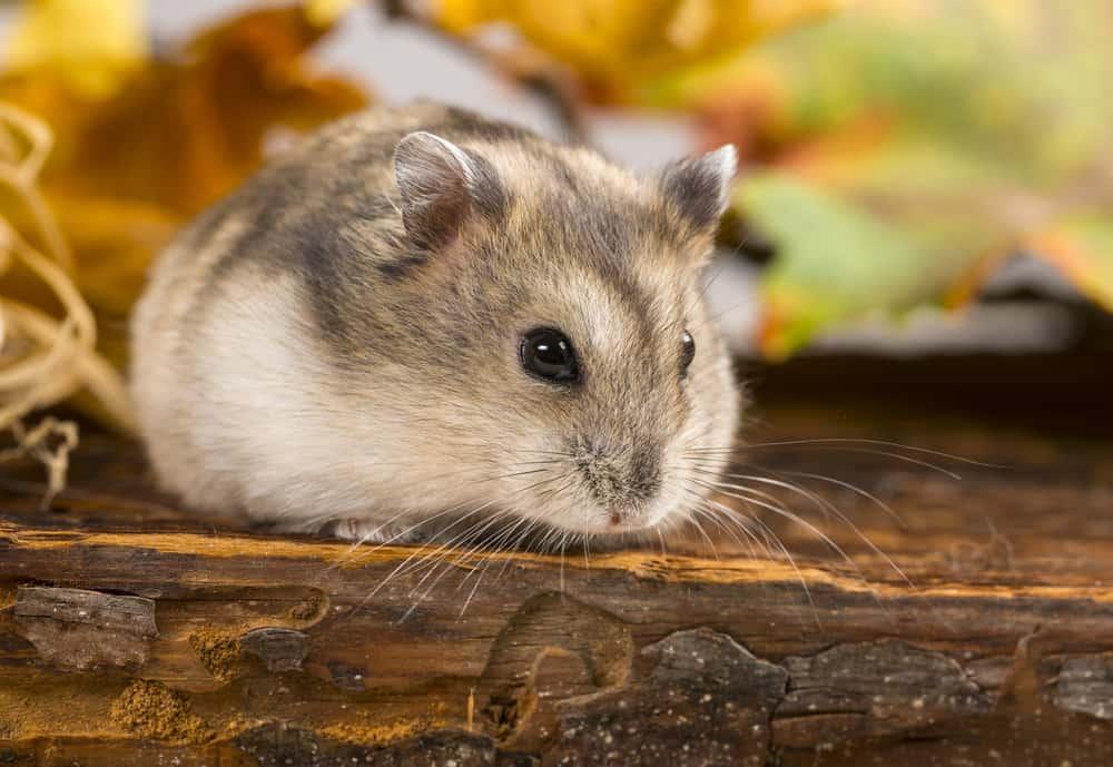 brown hamster on wood