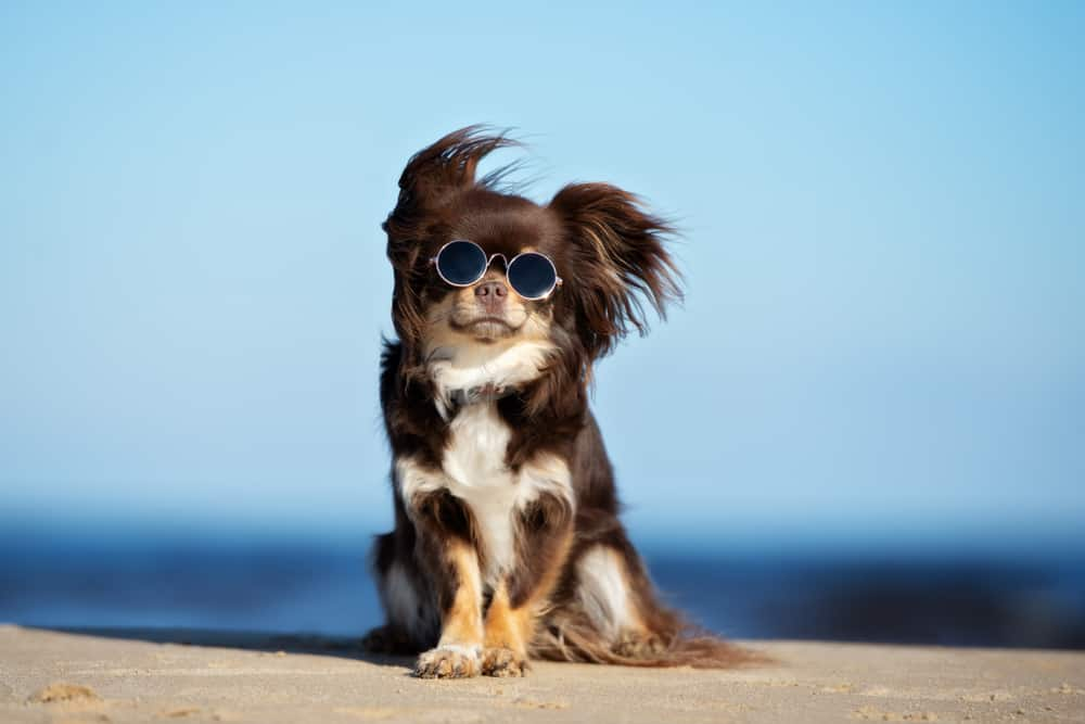 chihuahua wearing sunglasses on a beach
