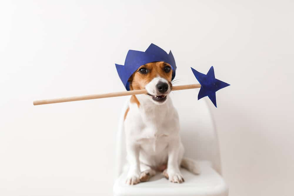 dog wearing hat and holding wand in mouth
