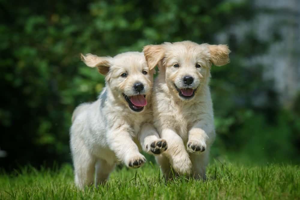 golden retriever puppies on the grass