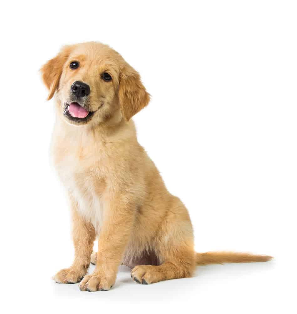 golden retriever puppy sitting with white background