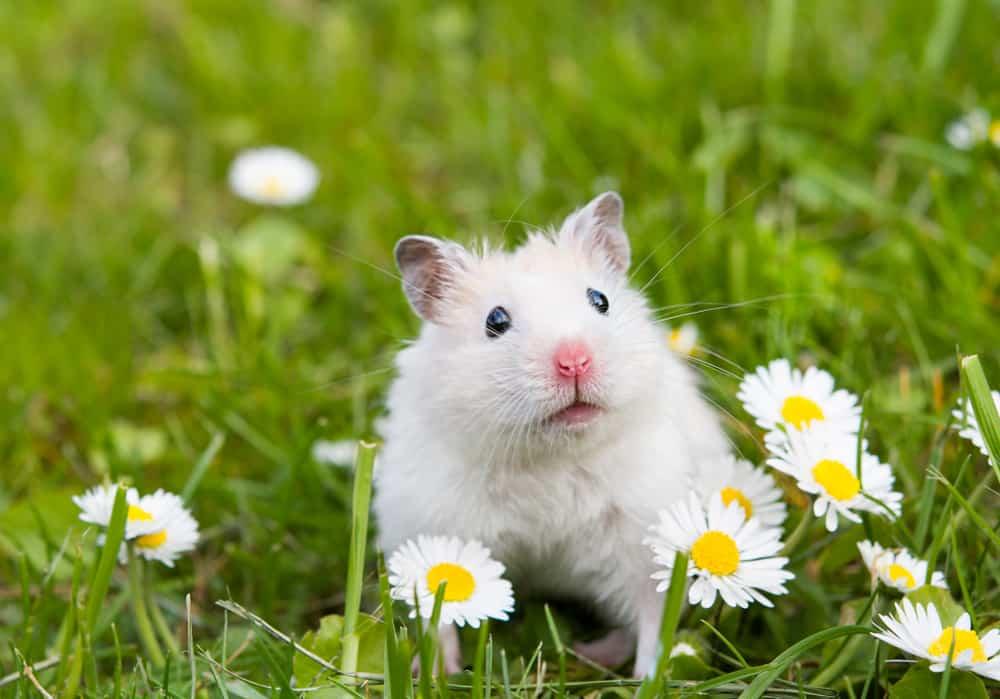 hamster among daisies