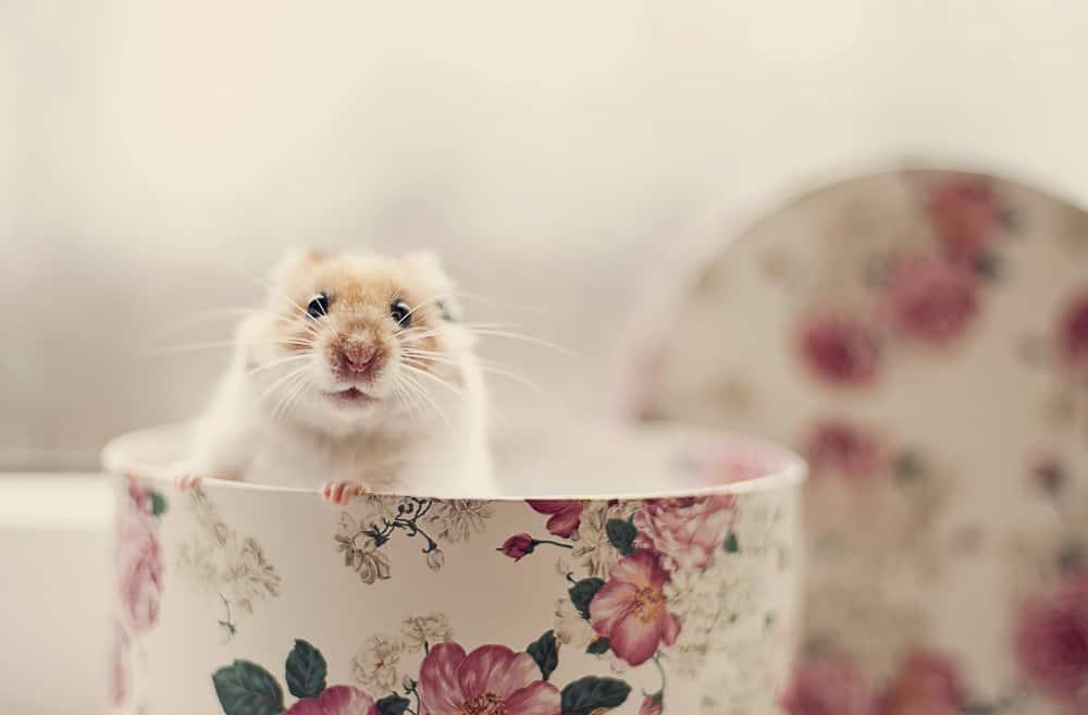 hamster in a floral teacup